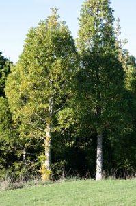 silvicultura